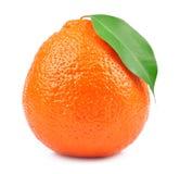 甜橙结果实(minneola) 库存图片