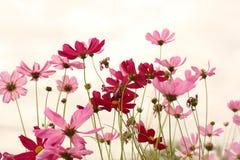 甜波斯菊花田背景,在桃红色天空的桃红色波斯菊 库存照片