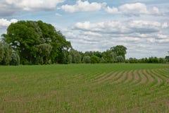 年轻甜玉米植物的领域弯曲的行的与后边树 免版税库存图片