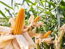 甜玉米的耳朵在麦地的 库存图片