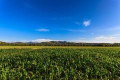 甜玉米领域 免版税图库摄影