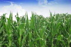 甜玉米领域 免版税库存图片