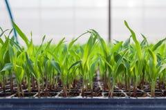 年轻甜玉米,玉米,甜玉米幼木 免版税库存照片