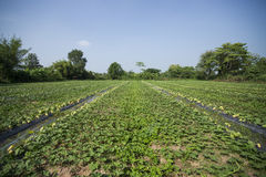 甜瓜瓜农场。 库存图片