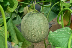 甜瓜 在树的新鲜的瓜 图库摄影