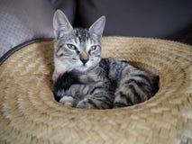 甜矮小的灰色猫 库存照片