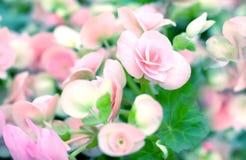 甜秋海棠秀丽花在庭院里 库存照片