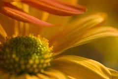 甜菊花在秋天 免版税库存图片