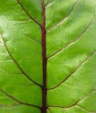 甜菜叶子红色 免版税图库摄影