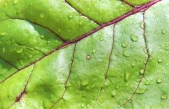 甜菜叶子背景 图库摄影