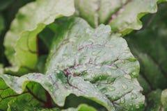 甜菜叶子  在甜菜叶子的露水  库存图片