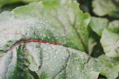 甜菜叶子  在甜菜叶子的露水  免版税库存照片