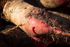 甜菜在地面的块根作物,选择聚焦 卧室兼起居室 甜菜 表甜菜 紫菜头 成熟甜菜和在地面上 免版税库存照片