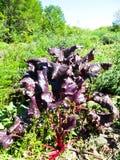 甜菜在庭院里 免版税图库摄影
