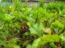 甜菜床在庭院里在国家 库存照片