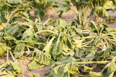 甜菜慢吞吞的叶子  图库摄影