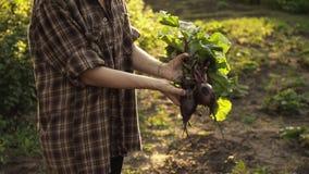 甜菜手收获的农夫举行在有机农场的领域的日落光的 股票录像
