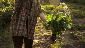 甜菜手收获的女孩藏品  农夫洗涤物束甜菜用在有机农场的领域的水日落光的 股票视频