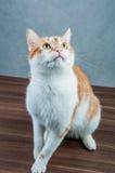 甜逗人喜爱的猫在家 库存照片