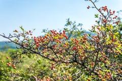 甜野蔷薇树 免版税图库摄影