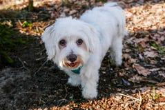 甜马耳他狗在公园 图库摄影