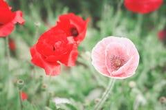 甜鸦片在庭院里 免版税库存照片
