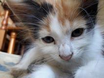 甜,嫩,美丽和小小猫 免版税库存图片