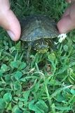 水生乌龟 库存图片
