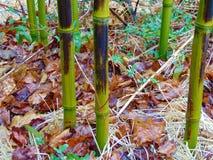 生动地生长在冬天的绿色竹子 免版税库存图片