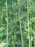 生动地生长在冬天的绿色竹子 库存照片