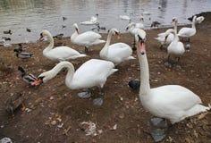 生动描述很大数量的鸟、天鹅和鸭子在岸,在水的边缘 免版税库存照片