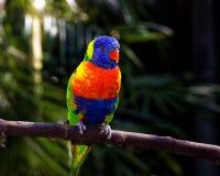 生动的五颜六色的热带鹦鹉在棍子栖息 库存图片