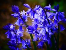 生动的会开蓝色钟形花的草 库存图片