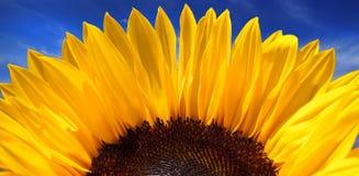 生动的向日葵 免版税库存图片