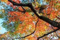 生动的树在秋天期间 库存图片