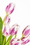 生动的桃红色和白色郁金香关闭  库存图片