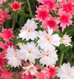 生动的桃红色和白花 免版税库存图片