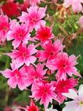 生动的桃红色和白花 库存照片