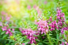 生动的桃红色Angelonia goyazensis Benth花、Waew Wichien或泰国florget我没有 免版税库存图片