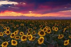 生动的科罗拉多向日葵日落 免版税库存照片