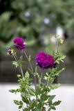 生动的紫色大丽花花和绿色叶子特写镜头有好的bokeh的 免版税库存照片