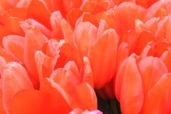 生动的红色桃红色郁金香土耳其语lale 免版税库存照片