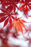 生动的色的日本秋天槭树宏观细节  免版税库存照片