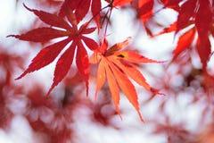 生动的色的日本秋天槭树宏观细节  免版税库存图片