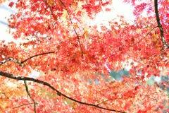 生动的色的日本秋天槭树风景  免版税库存图片