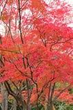 生动的色的日本秋天槭树风景  免版税库存照片