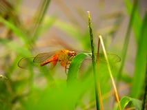 生动的色的蜻蜓特写镜头 库存图片