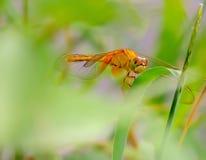 生动的色的蜻蜓特写镜头 免版税库存图片