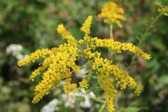 生动的黄色金毛茛花在秋天 免版税库存照片