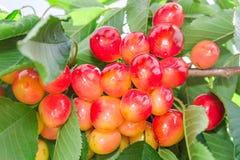 生动的更加多雨的白色樱桃莓果 库存图片